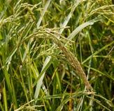 Junger Ohr-Reis Stockfotos
