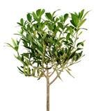 Junger Olivenbaum Stockfoto