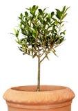 Junger Olivenbaum im Potenziometer Stockbild