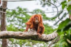 Junger Orang-Utan auf sitzendem Baum Stockbild