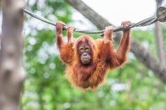 Junger Orang-Utan, der auf einem Seil schwingt Lizenzfreie Stockfotos