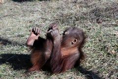 Junger Orang-Utan, der aus den Grund liegt Lizenzfreie Stockbilder