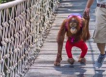 Junger Orang-Utan, der mit Trainer geht Lizenzfreie Stockfotos