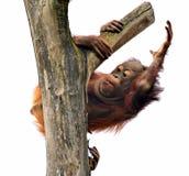 junger Orang-Utan in drei Stockfotografie