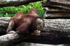 Junger Orang-Utan (Pongo pygmaeus) Lizenzfreie Stockfotos
