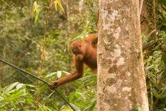 Junger Orang-Utan, Semenggoh, Borneo, Malaysia Lizenzfreies Stockfoto