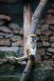 Junger Patas-Affe, der etwas isst Lizenzfreie Stockbilder