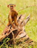 Junger Pavian Stockfotos