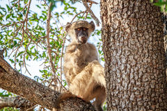 Junger Pavian, der in einem Baum sitzt Stockbild