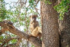 Junger Pavian, der in einem Baum sitzt Stockfotos