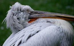 Junger Pelikan Stockbild