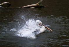 Junger Pelikan Stockfoto