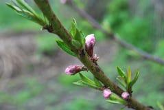 Junger Pfirsich knospt im Frühjahr, Beginn von blühenden Blumen Stockfotografie