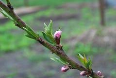 Junger Pfirsich knospt im Frühjahr, Beginn von blühenden Blumen Stockfotos