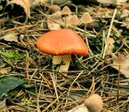 Junger Pilz (Suillus granulatus) lizenzfreie stockfotografie