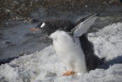 Junger Pinguin auf dem Ufer Stockfotos