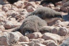 Junger Pinguin, der einen Rest hat Lizenzfreies Stockfoto