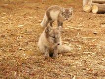 Junger polarer Fuchs Stockfoto
