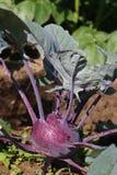 Junger purpurroter Kohlrabi Stockfoto