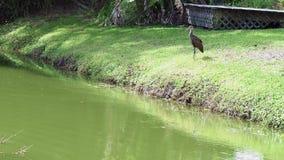 Junger Reiher, der auf dem Ufer von einem Teich steht stock footage