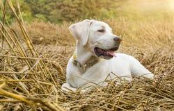 Junger reinrassiger Labrador-Hundewelpe, der auf einem Gebiet auf Stroh liegt, während die Sonne scheint Stockfoto