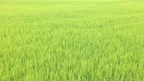 Junger Reis auf dem Reisgebiet in Thailand, Gesamtlänge der hohen Qualität stock video