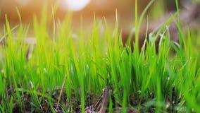 junger Reis, der auf dem Gebiet wächst stockbild