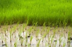 junger Reis, der auf dem Gebiet wächst Lizenzfreie Stockbilder
