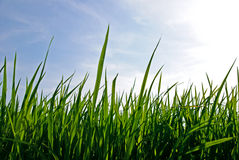 Junger Reis im Feldreis morgens Lizenzfreie Stockfotografie