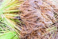 Junger Reissprössling Stockbilder