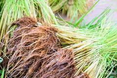 Junger Reissprössling Lizenzfreies Stockbild