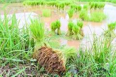 Junger Reissprössling Stockfotos