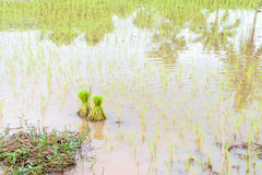 Junger Reissprössling Stockbild