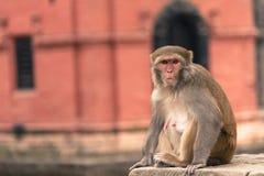 Junger Rhesusfaktormakakenaffe an Swayambhunath-Tempel, Kathmandu V Stockfoto