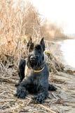 Junger Riesenschnauzer auf der Flussbank Deutscher vollblütiger Hund stockfoto