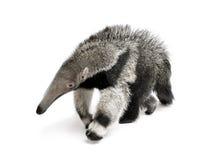 Junger riesiger Anteater gegen weißen Hintergrund stockfoto