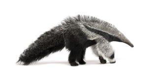 Junger riesiger Anteater gegen weißen Hintergrund Stockfotografie
