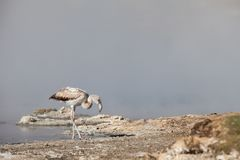 Junger rosa Flamingo, der nach Lebensmittel sucht Lizenzfreie Stockbilder