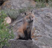 Junger roter Fox-Abschluss oben Stockfoto