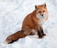 Junger roter Fox im Schnee, der die Kamera betrachtet Lizenzfreie Stockbilder