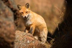Junger roter Fox im wilden Stockbild