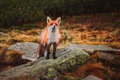Junger roter Fox im wilden stockbilder