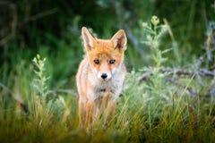 Junger roter Fuchs stockbilder