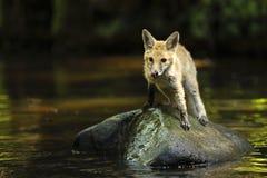 Junger roter Fuchs auf Stein im Fluss- Vulpes Vulpes Lizenzfreie Stockfotografie
