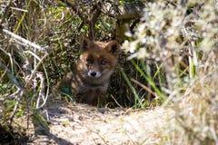 Junger roter Fuchs in den Büschen lizenzfreies stockfoto