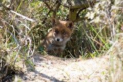 Junger roter Fuchs, der im Schatten sich versteckt lizenzfreie stockbilder