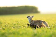 Junger roter Fuchs mit Opfer auf Wiese - Vulpes Vulpes Stockfotografie