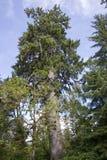 Junger Rotholz-Baum Stockbild