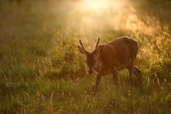 Junger Rotwildhirsch bei Sonnenuntergang Lizenzfreies Stockfoto