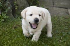Junger süßer Labrador-Welpe Stockfotos